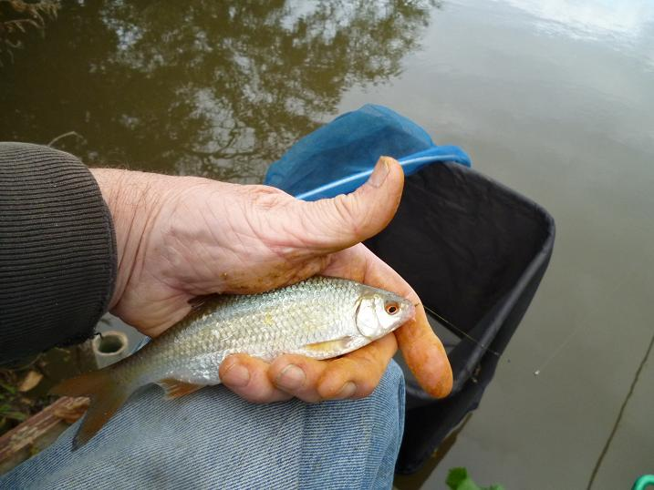 Thames Roach Fishing At Home Park Windsor
